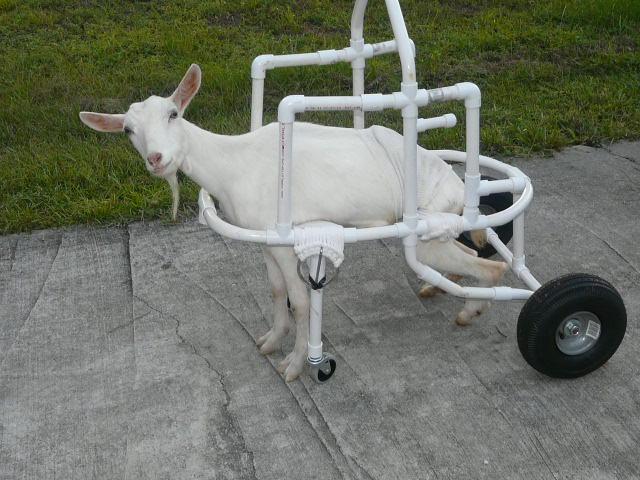 poor goat